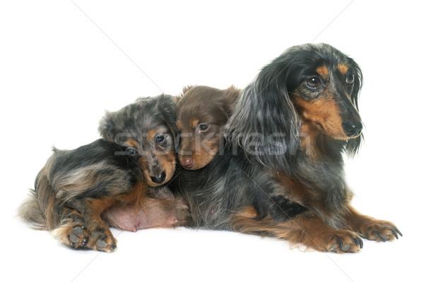 three dachshund  in studio Stock photo © cynoclub