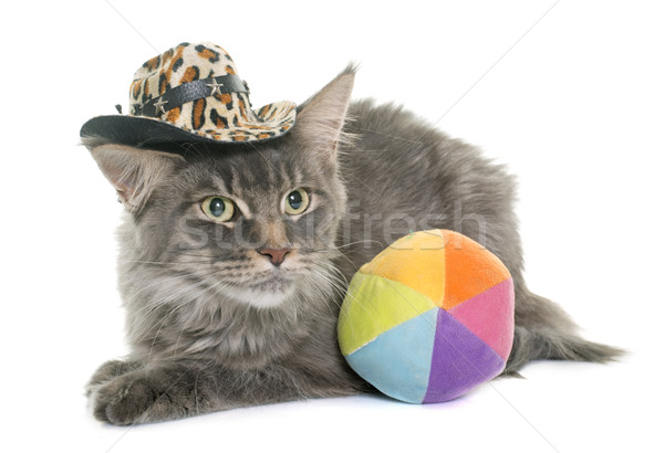 maine coon cat and hat Stock photo © cynoclub