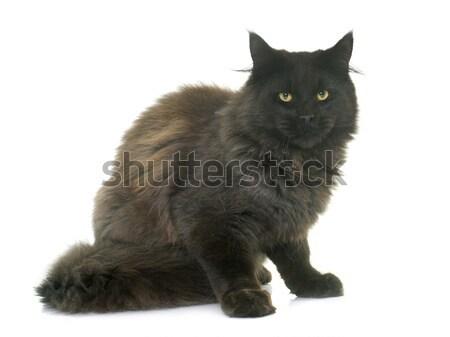 Stockfoto: Maine · kitten · witte · kat · jonge