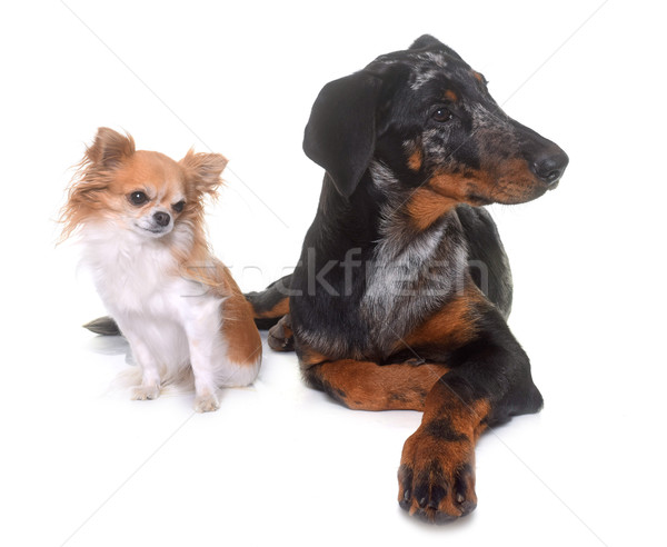 young beauceron and chihuahua Stock photo © cynoclub