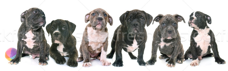 puppies american staffordshire terrier Stock photo © cynoclub