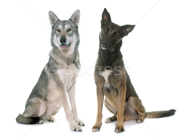 saarloos dog and malinois Stock photo © cynoclub
