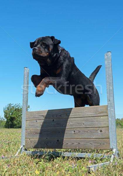 Opleiding gehoorzaamheid springen hond veld Stockfoto © cynoclub