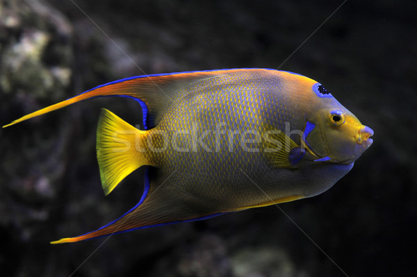 Queen Angelfish Stock photo © cynoclub