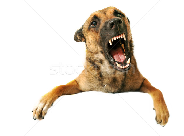 aggressive dog Stock photo © cynoclub