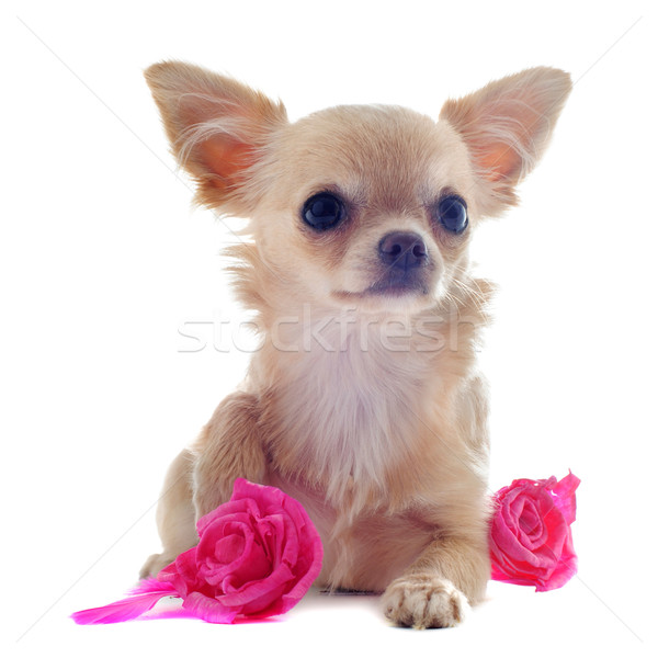 puppy chihuahua and flower Stock photo © cynoclub