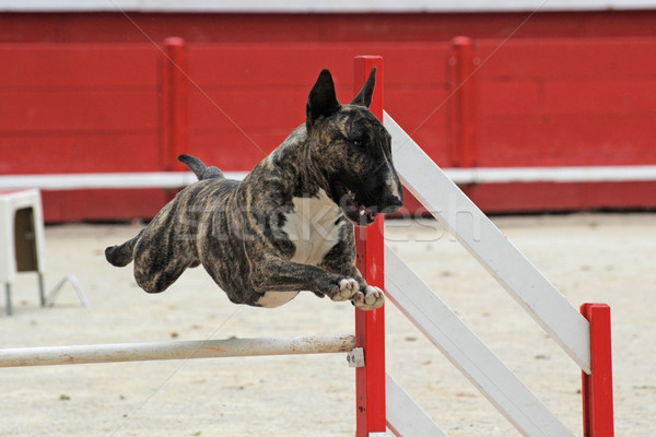 bull terrier in agility Stock photo © cynoclub
