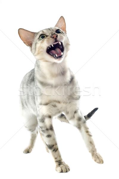 aggressive bengal cat Stock photo © cynoclub