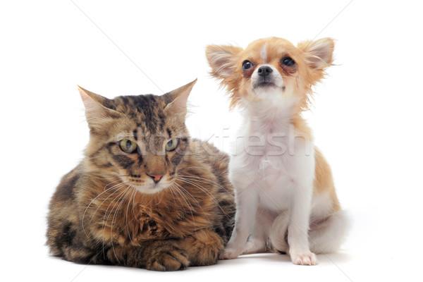Stok fotoğraf: Norveç · kedi · portre · köpek · beyaz