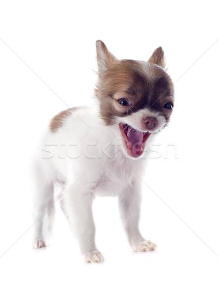 barking puppy chihuahua Stock photo © cynoclub