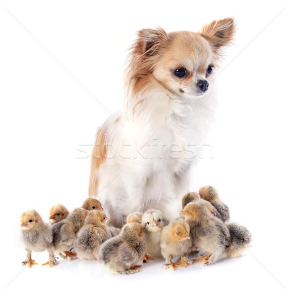 young chicks Stock photo © cynoclub