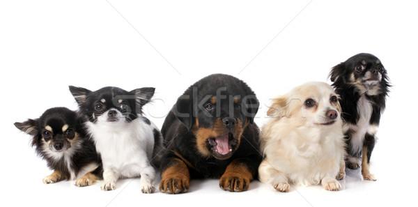 Szczeniak rottweiler portret grupy czarny młodych Zdjęcia stock © cynoclub