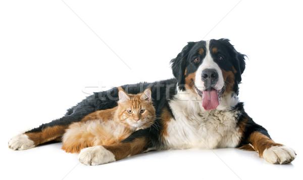 ストックフォト: 犬 · 猫 · 肖像 · メイン州