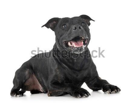 Genç rottweiler beyaz siyah köpek yavrusu evcil hayvan Stok fotoğraf © cynoclub