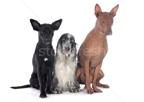 peruvian dogs anc cocker Stock photo © cynoclub