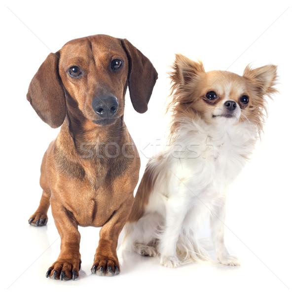 Tacskó kutya kutyák állat stúdió férfi Stock fotó © cynoclub