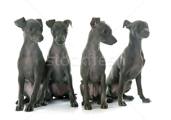 Filhotes de cachorro italiano galgo branco azul jovem Foto stock © cynoclub