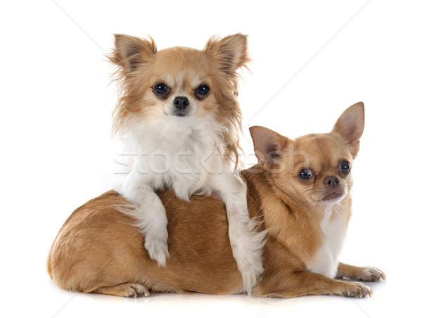 Foto stock: Dos · perro · animales · jugando · aislado · fondo · blanco