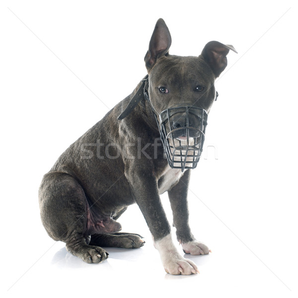 puppy american staffordshire terrier and muzzle Stock photo © cynoclub