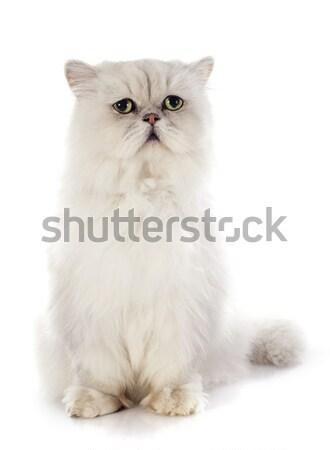 british longhair kitten Stock photo © cynoclub