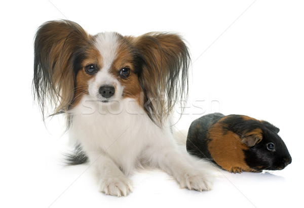 Hond cavia witte dier studio huisdier Stockfoto © cynoclub