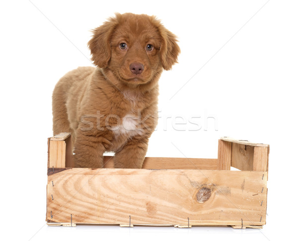 puppy Nova Scotia Duck Tolling Retriever Stock photo © cynoclub