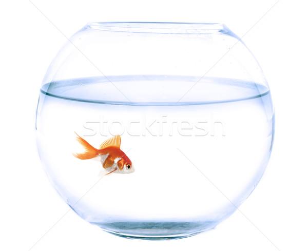 Akvárium aranyhal stúdió üres fehér üveg Stock fotó © cynoclub