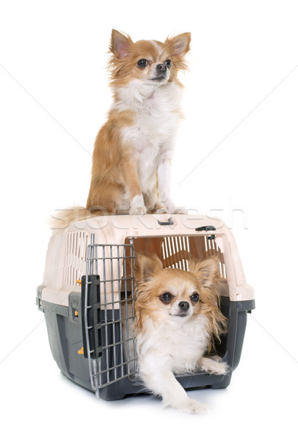 chihuahuas and kennel Stock photo © cynoclub