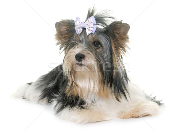 Foto stock: Yorkshire · terrier · blanco · perro · jóvenes · estudio