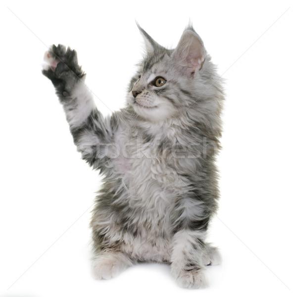 Stockfoto: Maine · kitten · witte · kat · huisdier