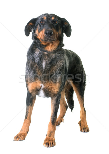 beauceron dog in studio Stock photo © cynoclub