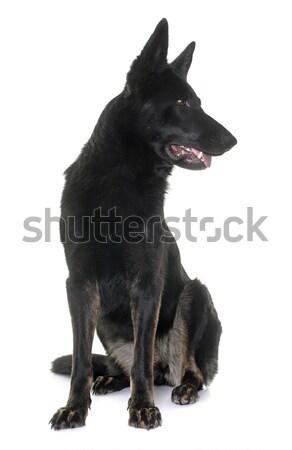 黒 羊飼い 白 犬 女性 動物 ストックフォト © cynoclub