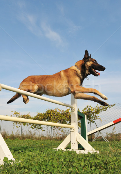 jumping malinois Stock photo © cynoclub