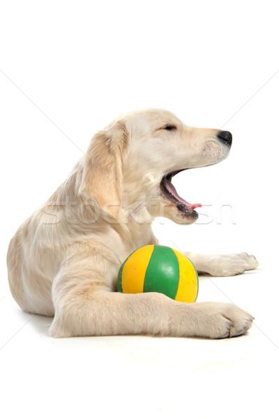 Köpek yavrusu golden retriever beyaz köpek Stok fotoğraf © cynoclub
