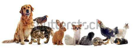 Groupe animaux de compagnie animal blanche chien chat Photo stock © cynoclub