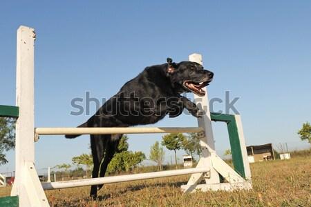 ジャンプ ロットワイラー 訓練 アジリティ 空 ストックフォト © cynoclub