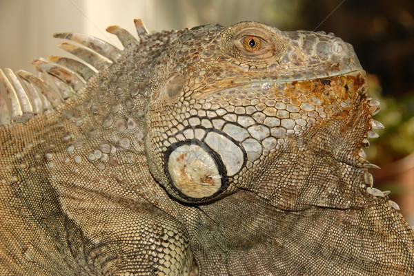 green iguana Stock photo © cynoclub