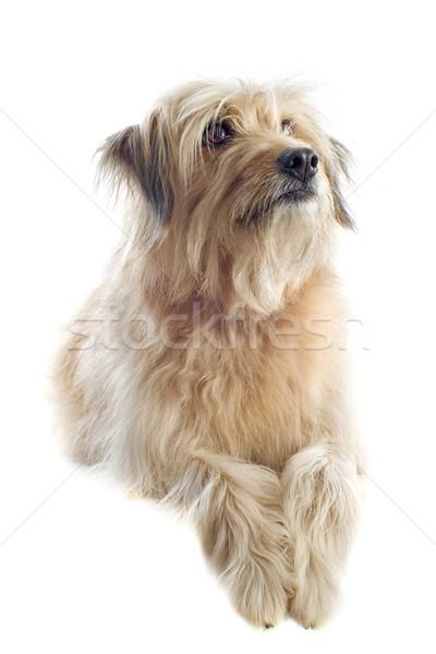 Herdershond portret witte hond studio huisdier Stockfoto © cynoclub