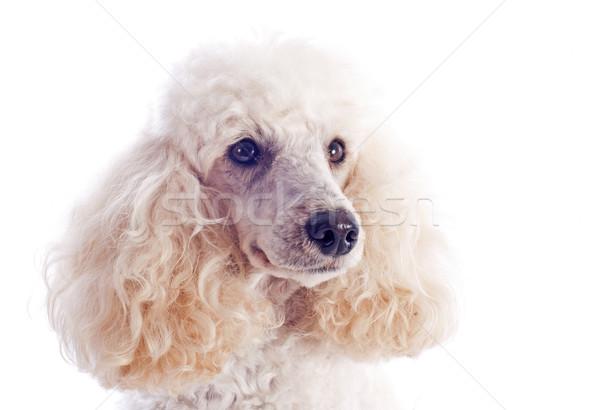 Kaniş güzel beyaz portre genç Stok fotoğraf © cynoclub