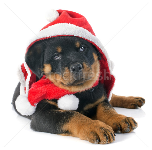 christmas rottweiler Stock photo © cynoclub