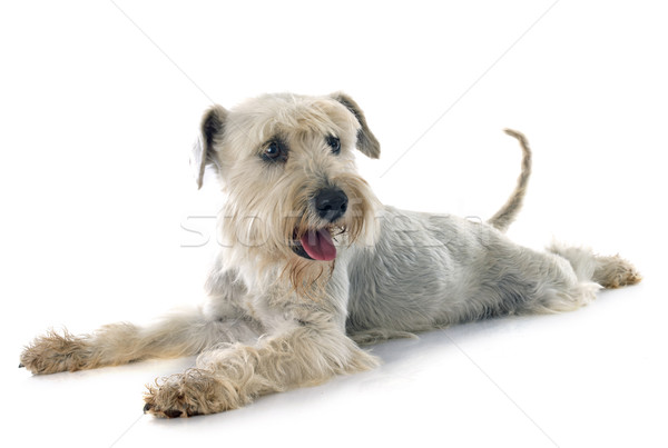 white miniature schnauzer Stock photo © cynoclub
