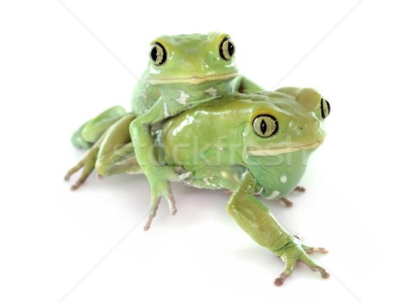 Stock fotó: Zöld · fehér · háttér · vadvilág · kétéltű · varangy