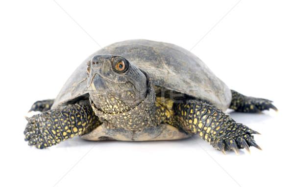 European pond turtle Stock photo © cynoclub