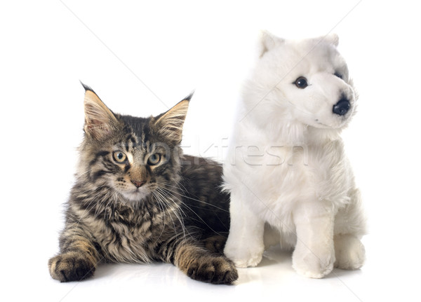 Maine kitten speelgoed witte kat studio Stockfoto © cynoclub