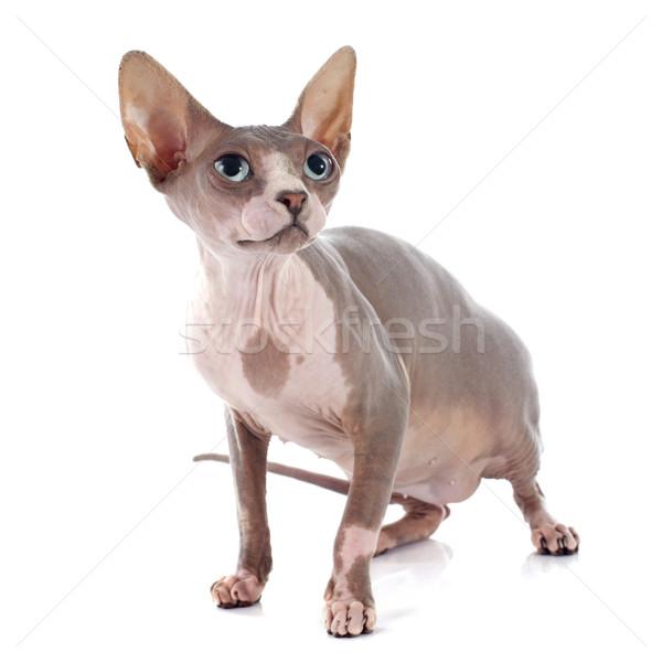 Sin pelo gato blanco ojos piel Foto stock © cynoclub