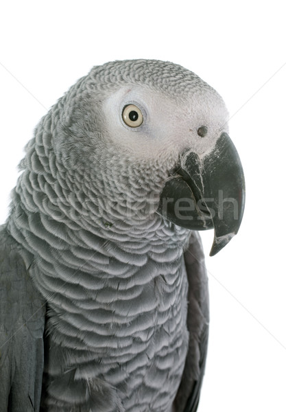 African grey parrot Stock photo © cynoclub