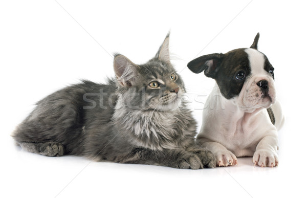 Stock photo: puppy french bulldog and cat