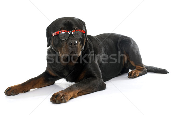 an adult rottweiler Stock photo © cynoclub