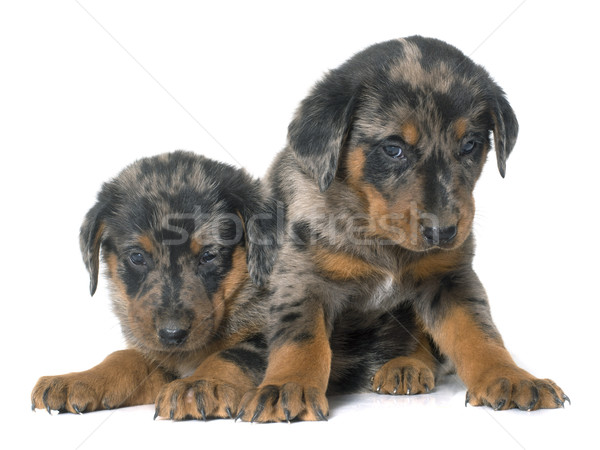 beauceron puppies in studio Stock photo © cynoclub