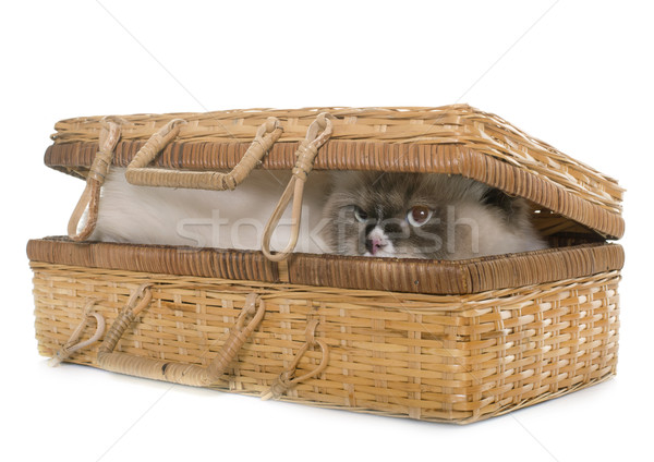 english longhair cat in basket Stock photo © cynoclub